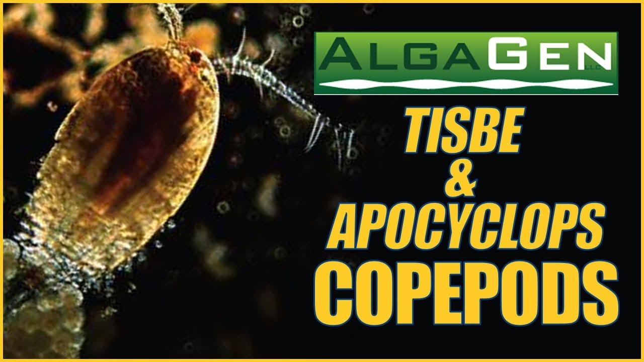 AlgaGen Copepods - ReefPODS and Apocyclops: What YOU Need to Know Thumbnail