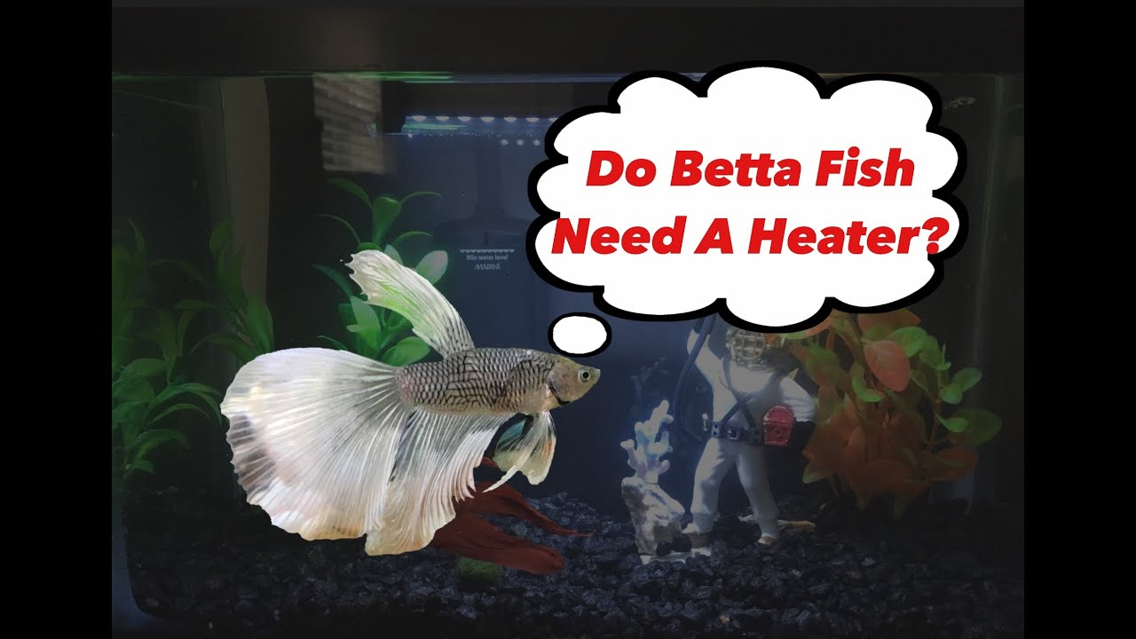 Do Betta Fish Need A Heater Youtube
