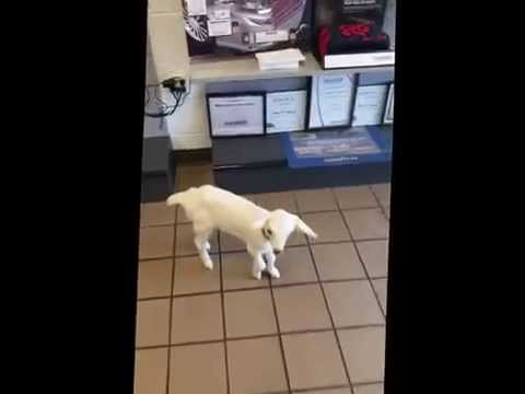 Tire World Frederick MD Auto Repair and Tires (& goats)