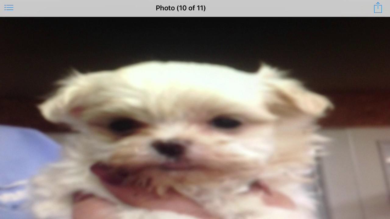 Very Cute Slideshow Of Maltese Puppy