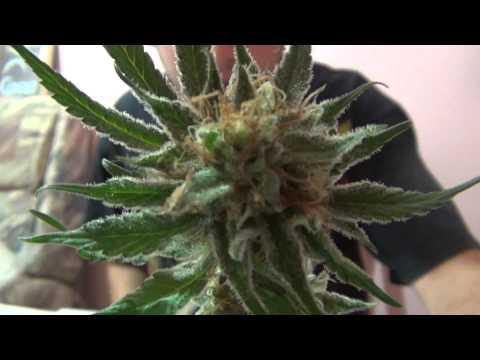 Mango Kush Harvest & Trim - Short Vid