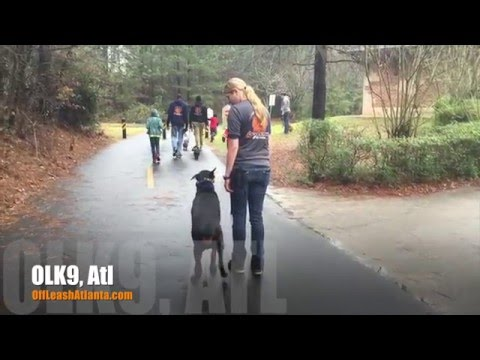 Off Leash Heeling | Doberman Pinscher | Amazing Dog Training Atlanta
