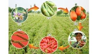 Ягоды Годжи. Можно ли похудеть с ягодами Годжи, чем они полезны, из чего состоят, отзыв.