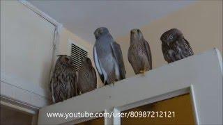 +Чей ТУФЛЯ???:))) Ушастая сова, Пустельга, Лунь степной, Домовой сыч:) Meeting predators