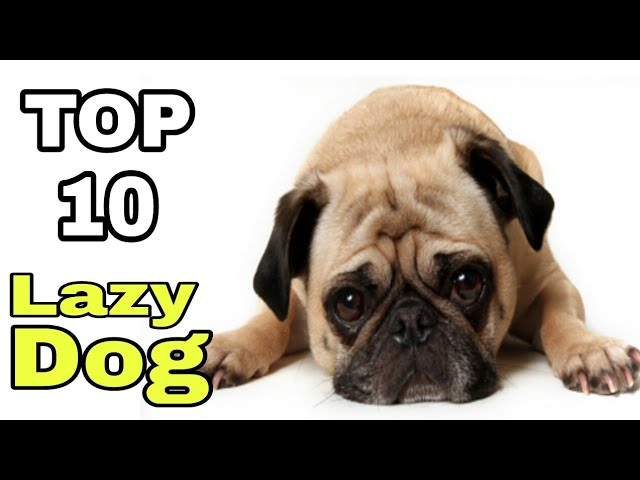 TOP-10 Very Lazy Dog Breeds / lazy and cute dog breed / Aryan Dog Club Aryandogclub