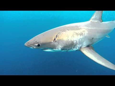 Norfolk Island Great White Shark