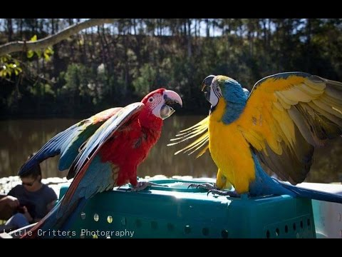 Parrots Fight for Attention