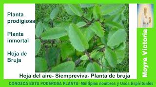 CONOZCA ESTA PODEROSA PLANTA- Con Multiples Nombres y Usos Espirituales- Moyra Victoria Clarividente