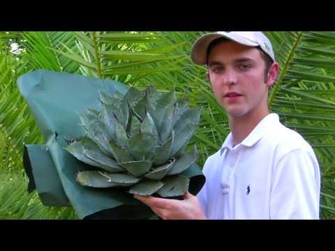 Plant a Agave Parrasana