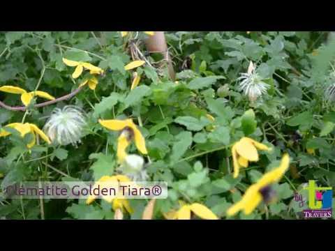 Clématite tangutica Golden Tiara® 'Kugotia' - Pépinières TRAVERS