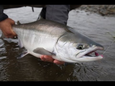 Fly Fishing For Chrome Chum Salmon - OPST