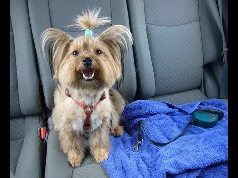 Ellie Beim Hundefriseur Yorkshire Terrier Grooming Youtube