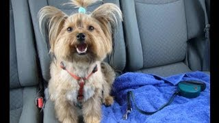 Ellie Beim Hundefriseur (yorkshire Terrier Grooming)