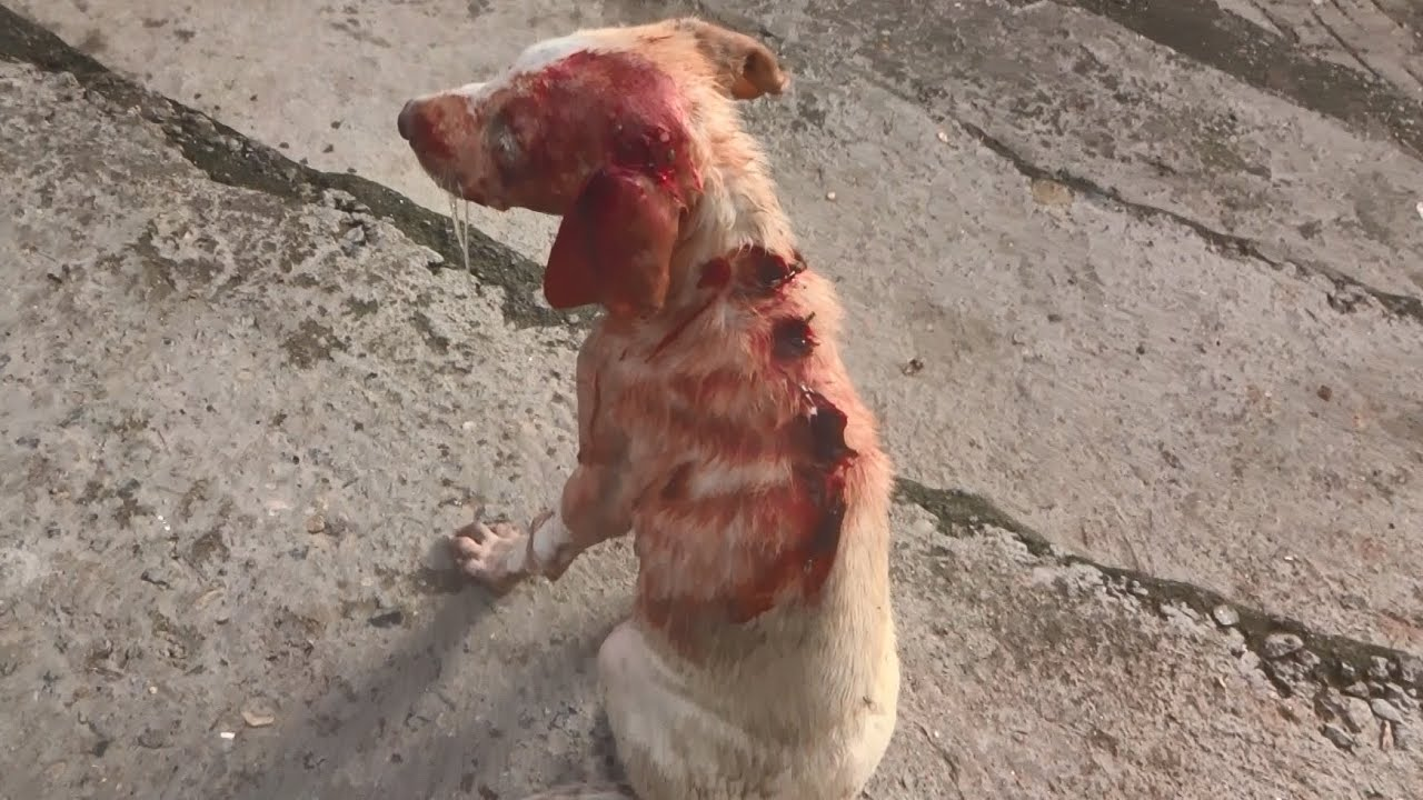Download So many wounds on a tiny body, puppy's beautiful recovery (graphic footage).