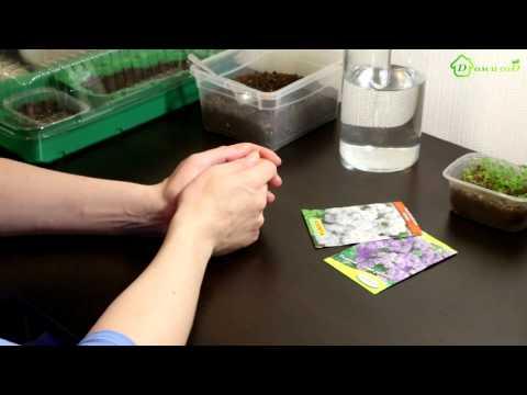 АГЕРАТУМ - выращивание из семян
