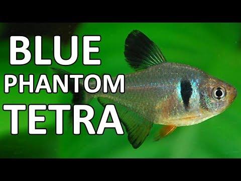 Blue Phantom Tetra | Beginner Guide