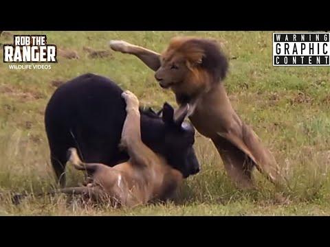 Male Lions Ambush Buffalo And Calf! (Epic Lion Vs Buffalo Action Highlights!)