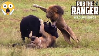 Male Lions Ambush Buffalo And Calf! (Epic Lion vs Buffalo Action Highlights!)