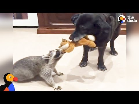 Rescued Raccoon and Dog Love Playing Together   The Dodo Odd Couples