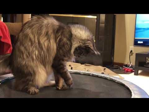Maine coon cat plays on a trampoline