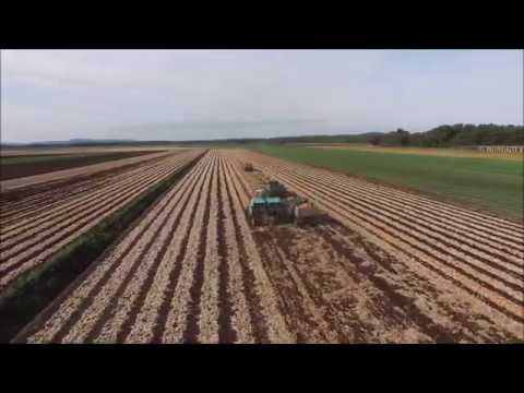 New York Onion Harvest 2015
