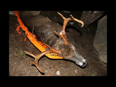 Multiple Bucks Down (Graphic) (Deer Drives)