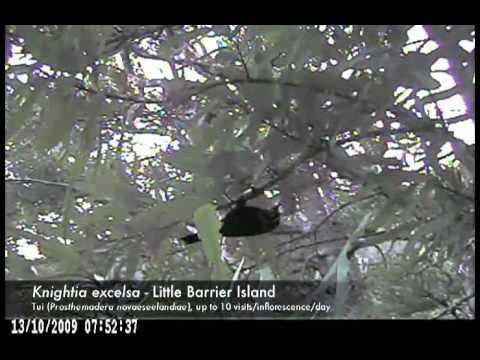 Flower visitors on little Barrier island - Metrosideros excelca