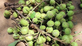 Cooking Dumur Curry Village Food Recipe by my Mother   Fig Fruit Recipe