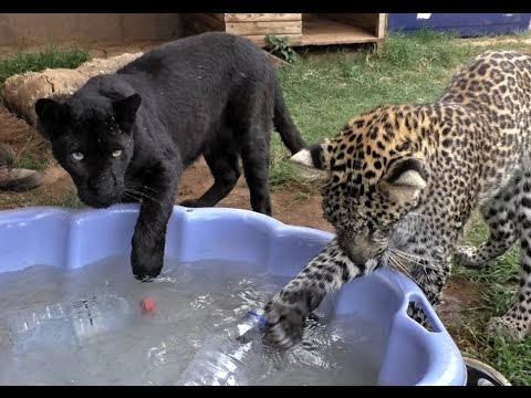 Black Spotted Leopard Cub Pool Party   African Big Cats Cool Off & Dunk For Toys In A Childs Pool