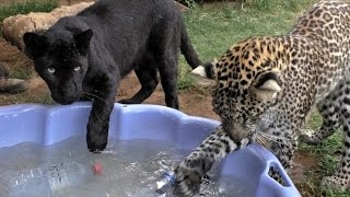 Black Spotted Leopard Cub Pool Party | African Big Cats Cool Off & Dunk For Toys In A Childs Pool