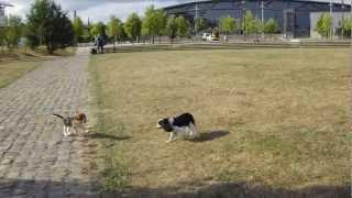 Cavalier King Charles Joue Avec Un Beagle