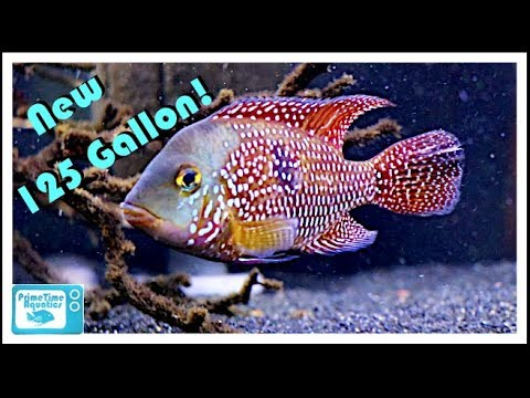 New 125 Gallon Fish Tank for Geophagus Brasiliensis! (And some really cool fish room updates)