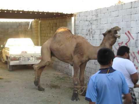 جمل االبرماويه عيد الاضحى 1434/12/10 camel Albermawiyeh Eid al-Adha