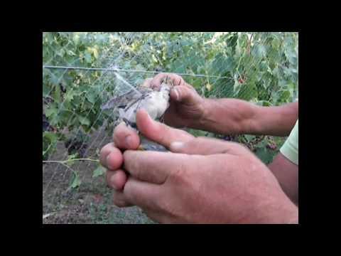 Защиты урожая от птиц и града!Простые,но надёжные виноградные способы защиты от беспощадных врагов!