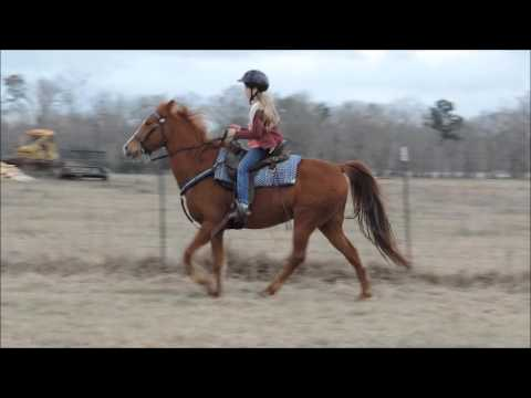 Sweetest Little Sorrel Tennessee Walking Horse Mare!