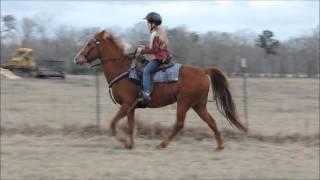 Sweetest Little Sorrel Tennessee Walking Horse Mare!