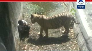 SHOCKING VIDEO: White tiger kills youth at Delhi zoo