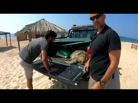 Sea Turtle Returned To Sea By Israel Nature And Parks Authority