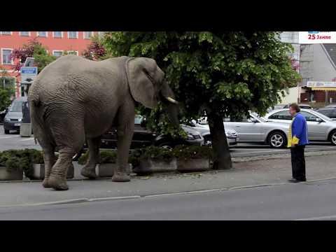 Elefant vom Circus Afrika spaziert durch Torgau