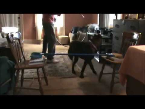 Cane Corso Puppy Training at Home