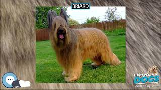 Briard  Everything Dogs
