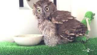 Western Screech Owl Kuuchan is like take a bath.  / フクロウのくうちゃん、エアー水浴び