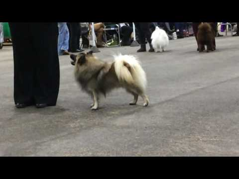 Team Lindcoly - German Spitz Mittels @ Champ Show BUBA 2016