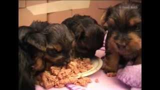 Mini Yorkshire-terrier-welpen