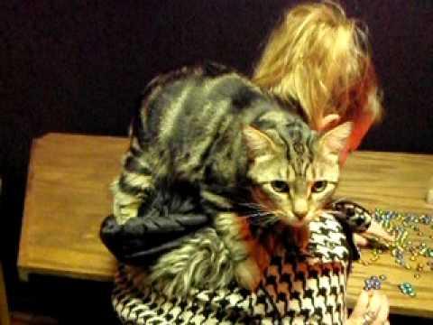 Pixie Bob cat 11 loves so hard