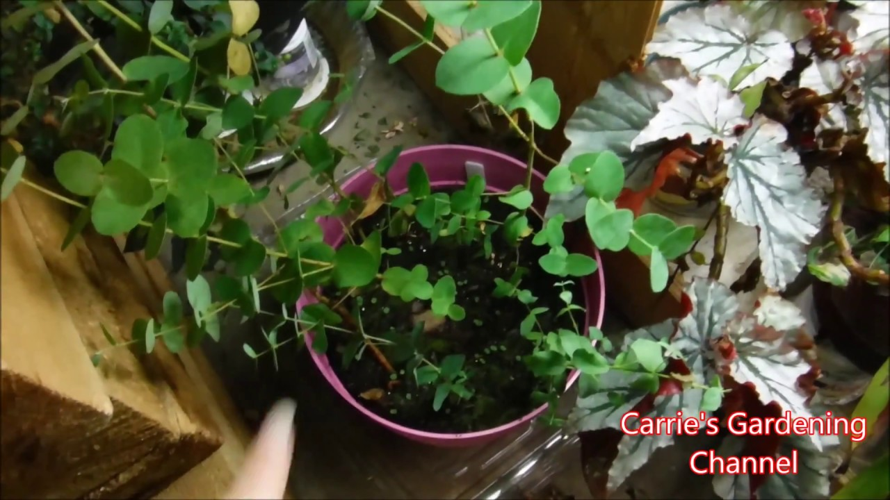 How To Overwinter Eucalyptus Trees Indoors, How To Grow