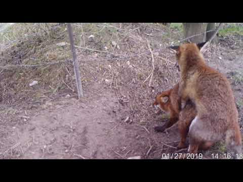 Fox Dog Mating With Vixen..