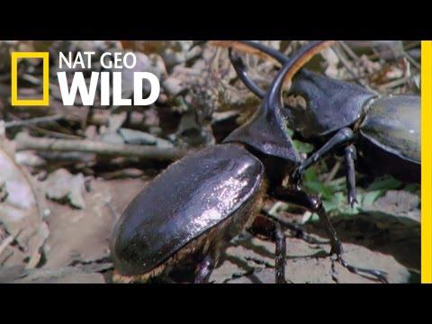Hercules Beetle Battle | Wild Costa Rica