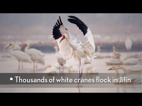 Live: Thousands of white cranes flock in Jilin快来寻鹤!白鹤迁徙进入高峰期