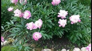 Шикарные цветы - пионы